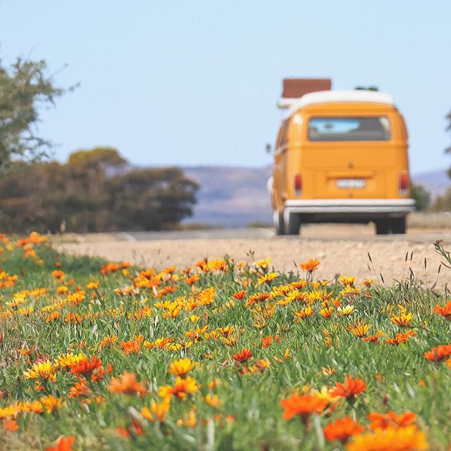 field of grass and orange flowers with a yellow Kombi driving away on a dirt road