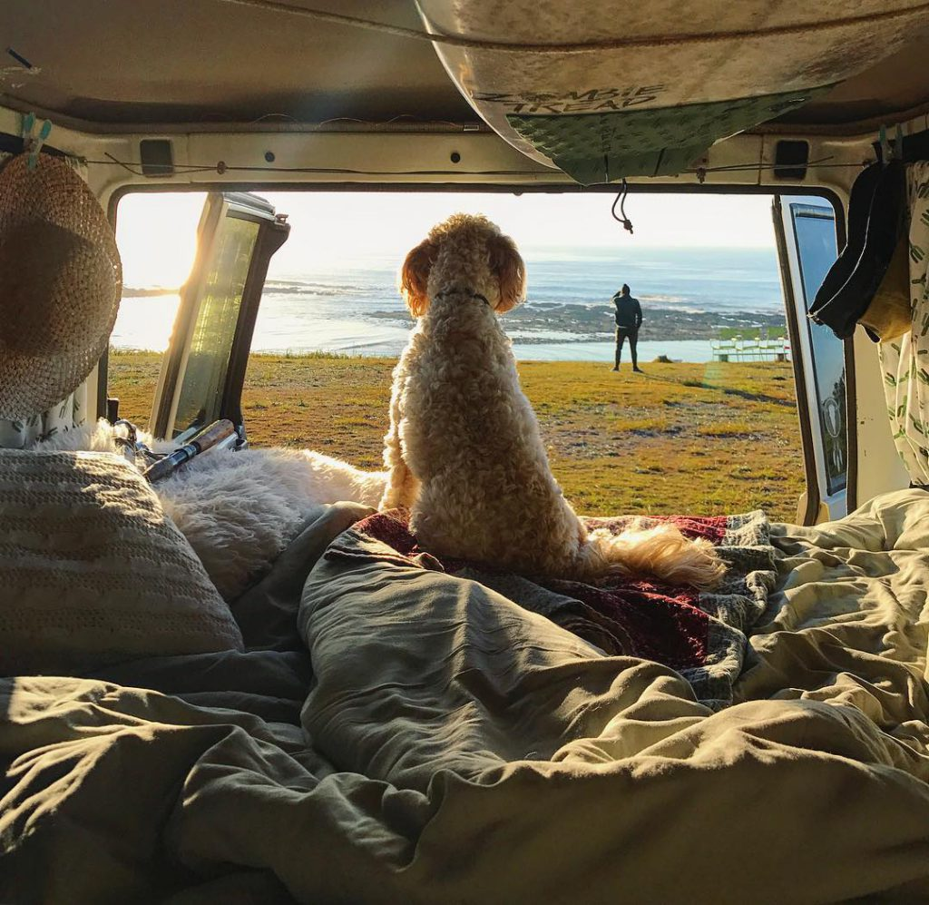 back of white dog sitting on blankets facing out of back end of kombi looking onto some grass with a person standing and ocean view