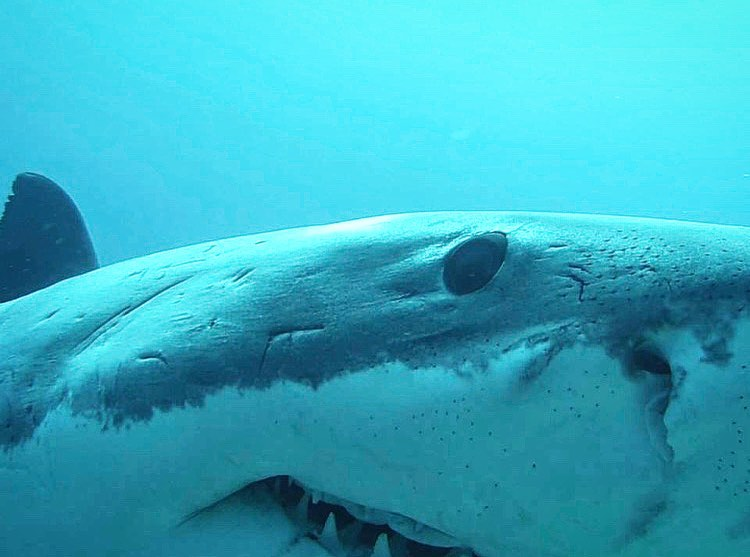 Shark up close in SA